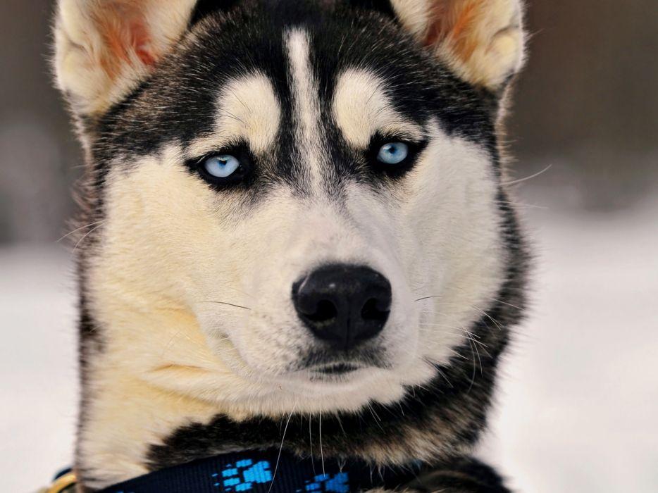 Animals dogs husky siberian husky wallpaper