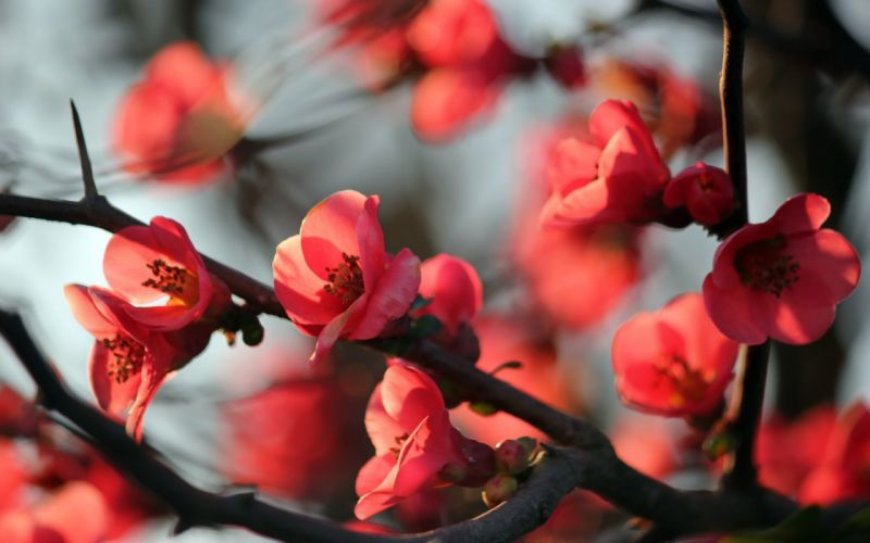 Nature red flowers blossoms macro branches wallpaper