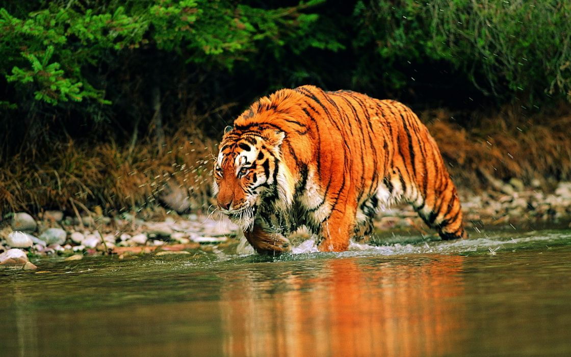 Cats animals tigers wet wallpaper