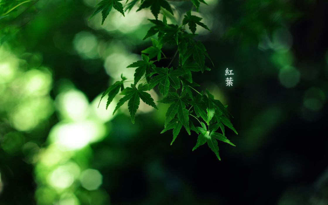 Green japan nature trees forest leaves bamboo japanese depth of field momiji wallpaper