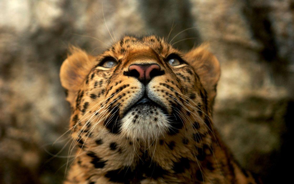 Cats animals leopards wallpaper