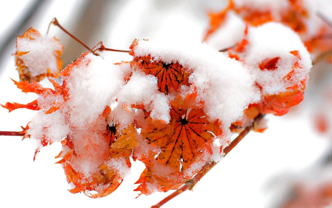 Ice nature winter snow leaf autumn red orange leaves cold frozen wallpaper