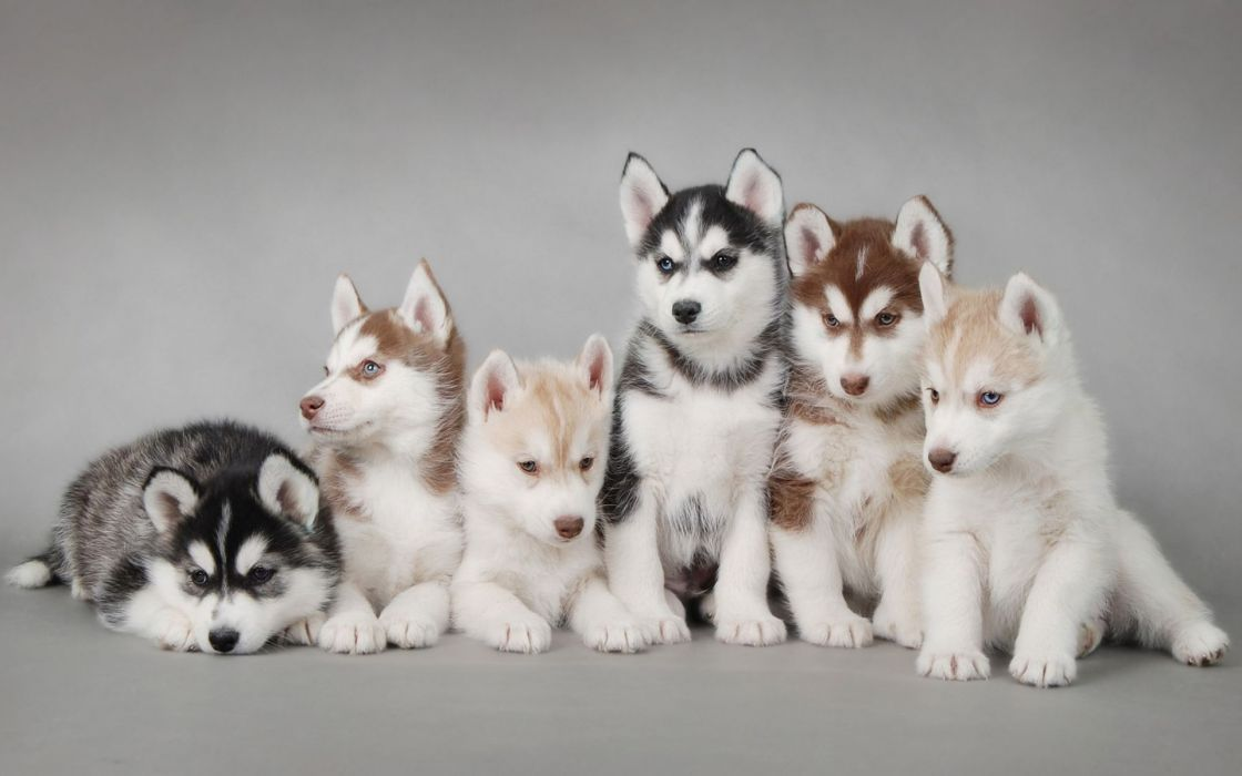 Animals dogs husky wallpaper