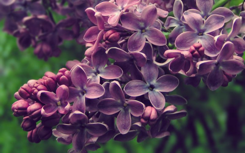 Nature flowers spring blossom lilac purple flowers wallpaper