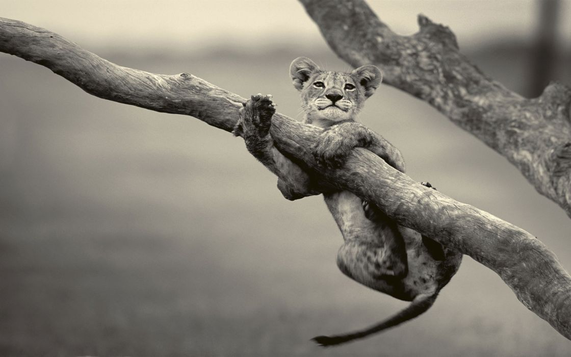 Animals grayscale lions baby animals wallpaper