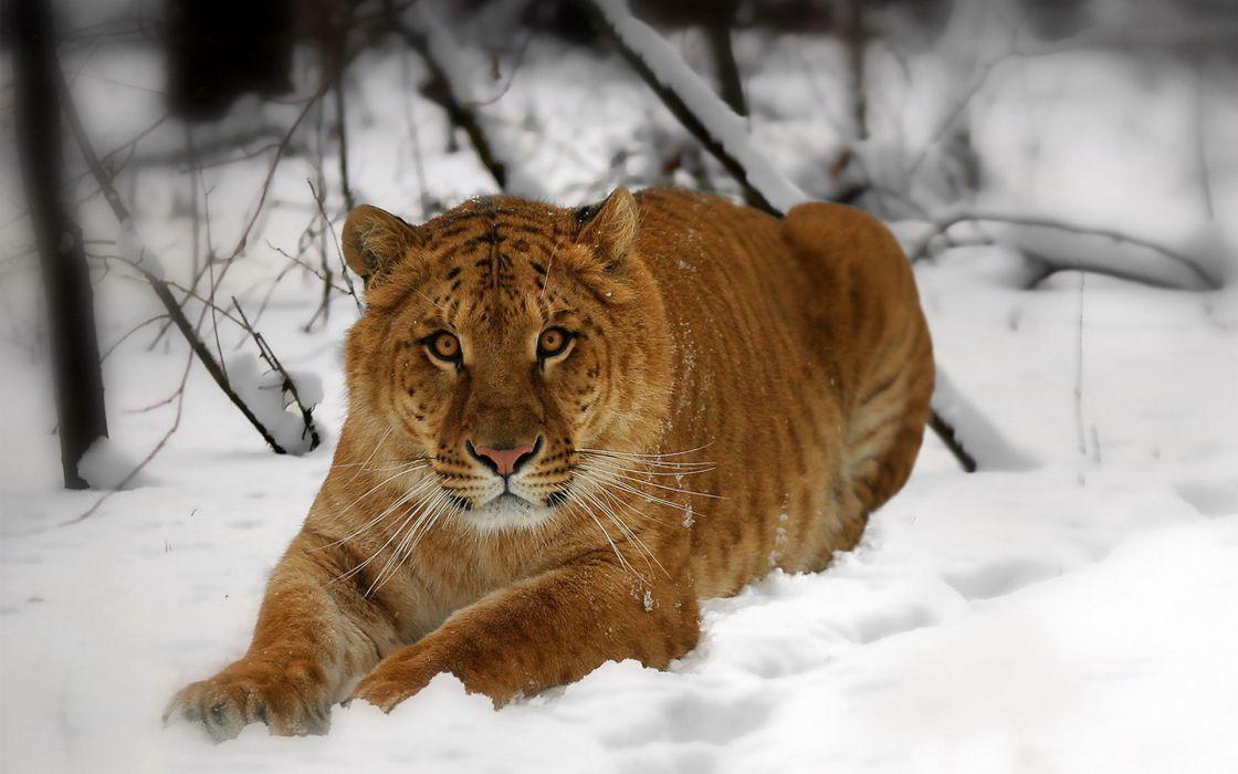 Snow animals tigers lions wallpaper
