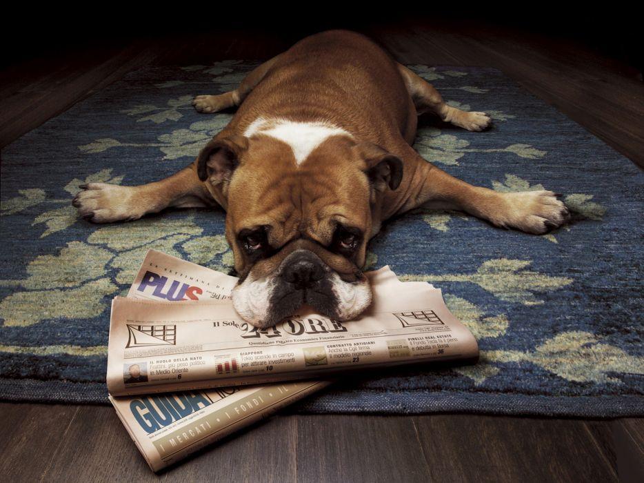 Animals dogs bulldog newspapers english bulldog wallpaper