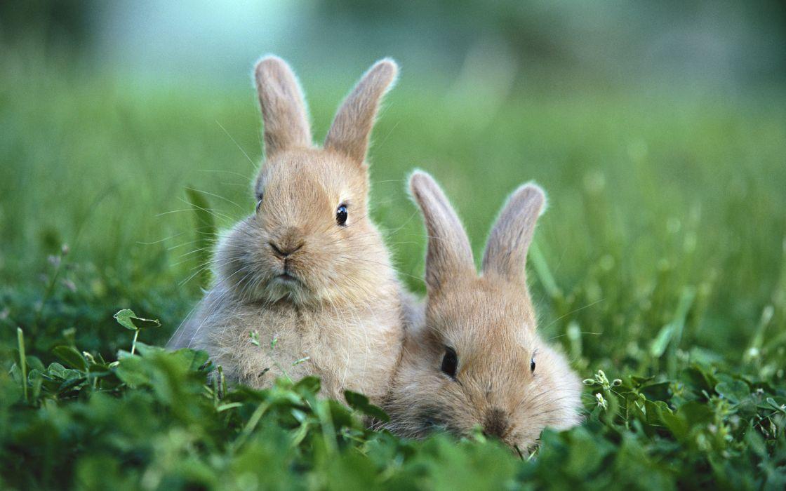 Bunnies nature animals grass rabbits wallpaper