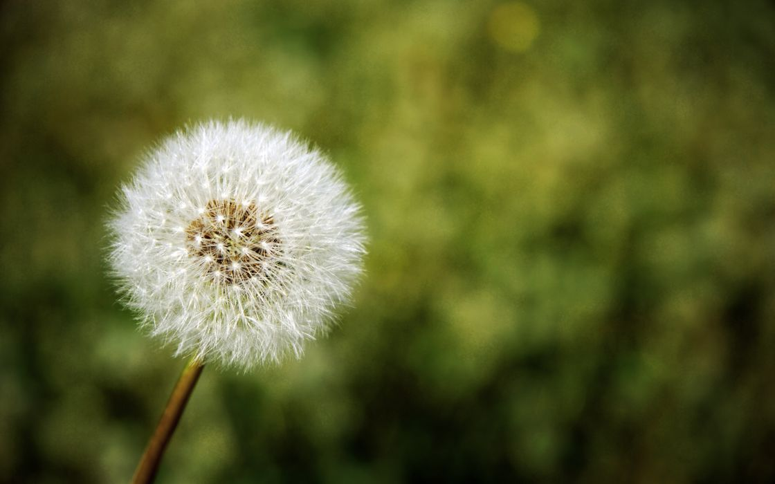 Flowers plants dandelions depth of field wallpaper