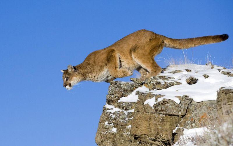 Animals jumping puma feline cougars wallpaper