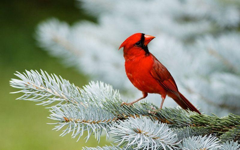 Nature trees birds cardinal macro depth of field northern cardinal pine tree wallpaper