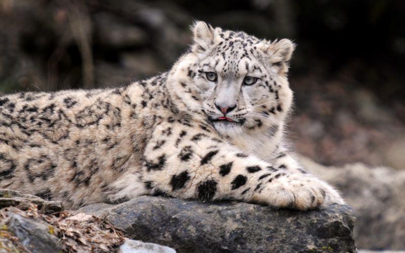 Cats animals snow leopards feline irbis wallpaper
