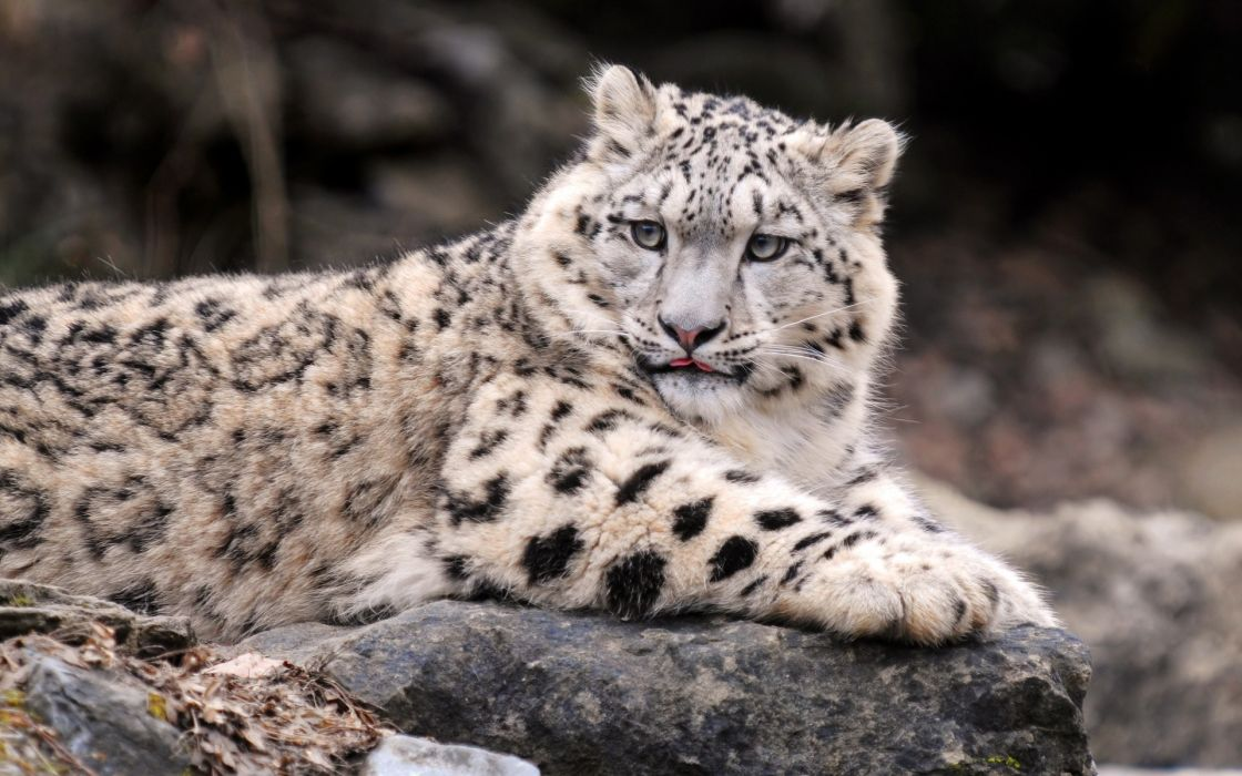 Cats animals snow leopards feline irbis wallpaper