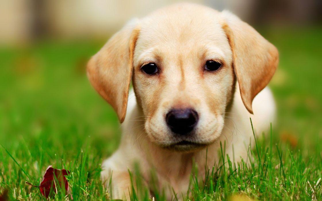 Eyes yellow animals dogs labrador retriever wallpaper