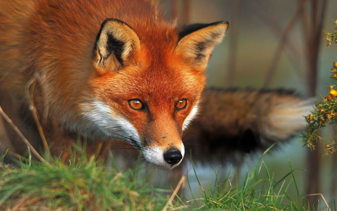 Red animals foxes wallpaper