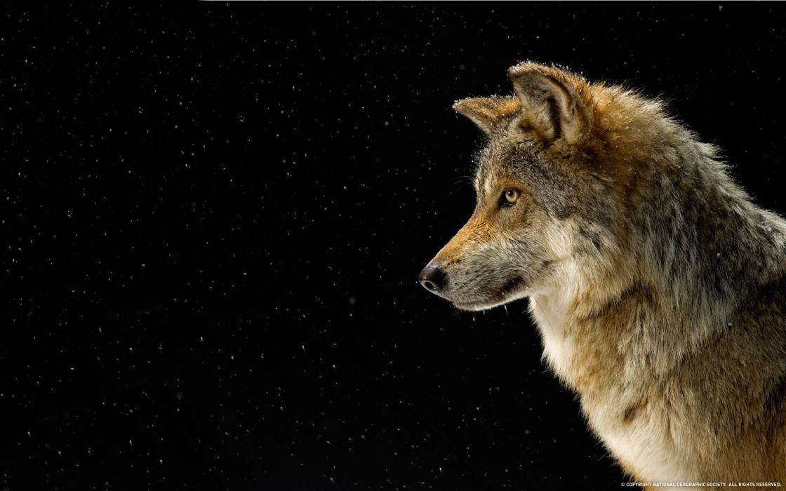 Mammals wolves wallpaper