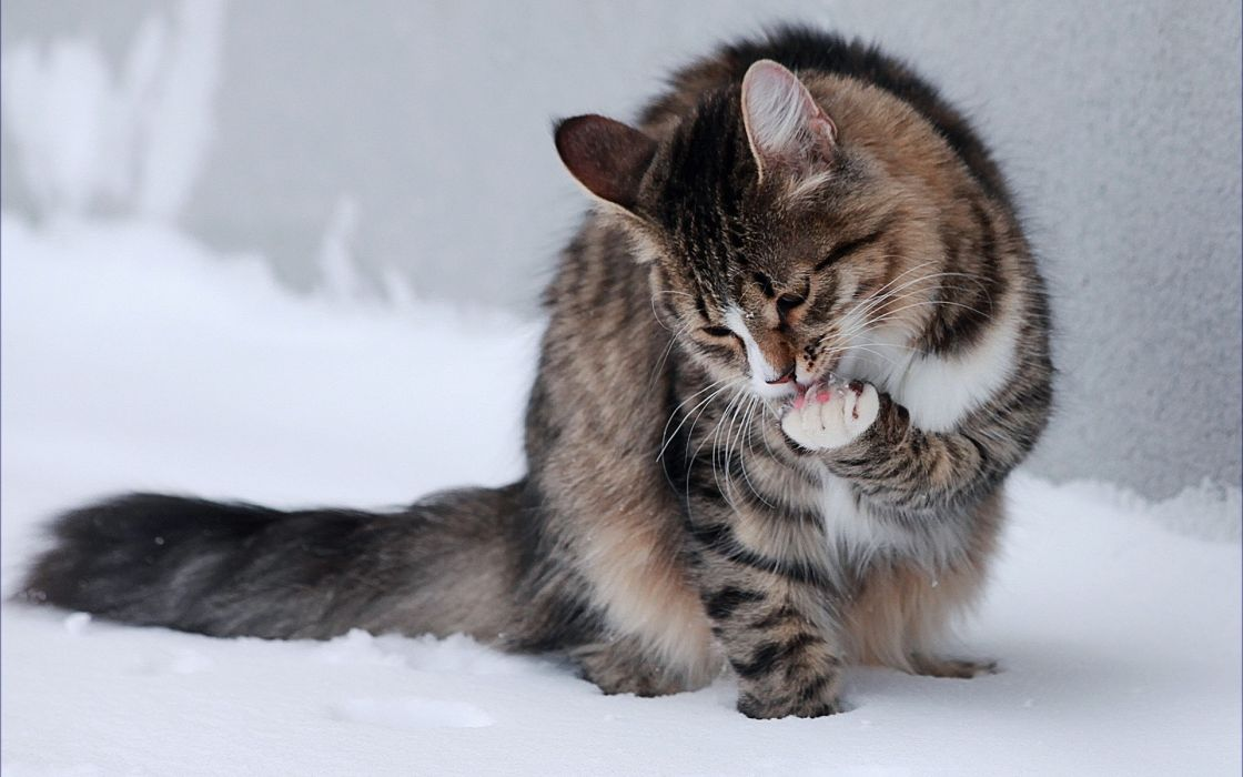 Winter snow cats animals outdoors kittens tv shows wallpaper