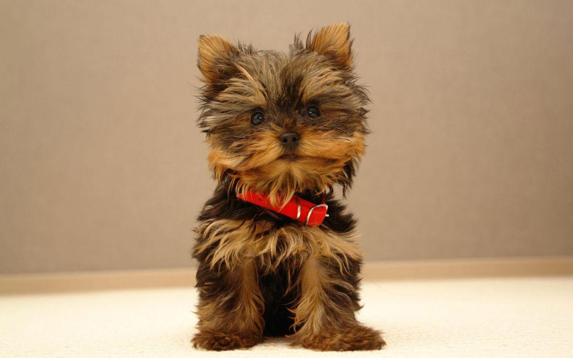 Animals dogs puppies yorkshire terrier wallpaper
