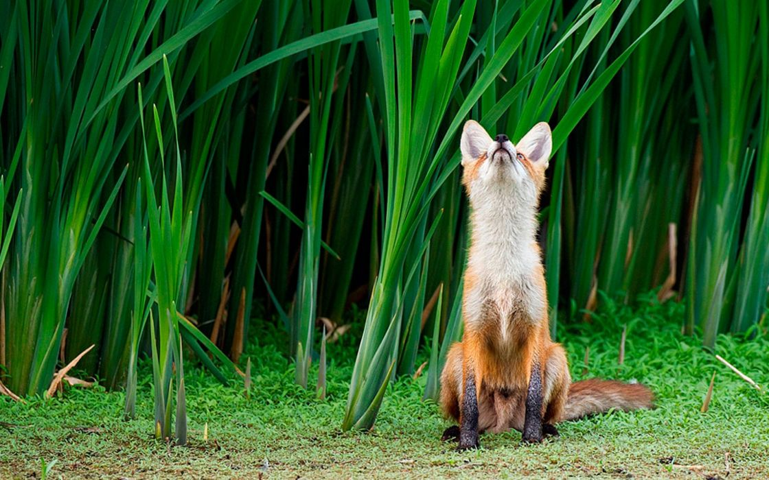Animals fields foxes wallpaper