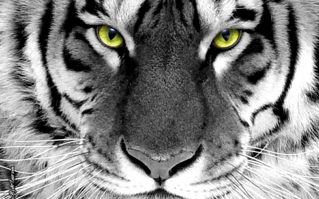 Closeup animals tigers selective coloring wallpaper