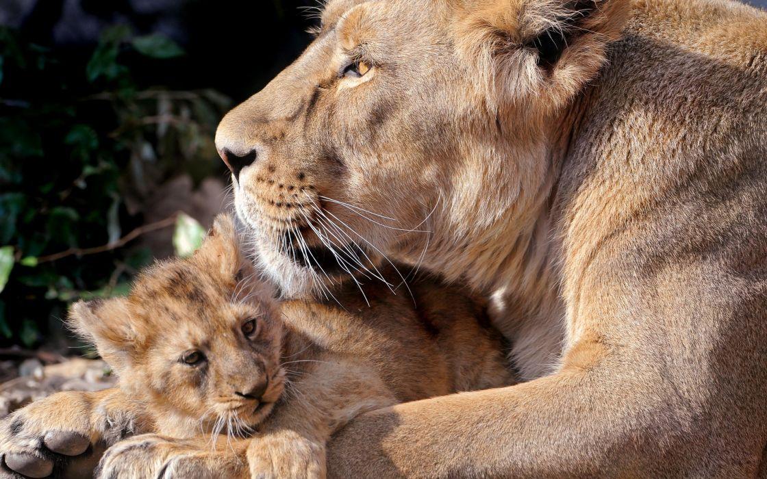 Animals tigers lions wallpaper