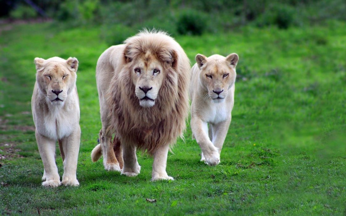 Nature animals lions wildcat white lions africa wallpaper