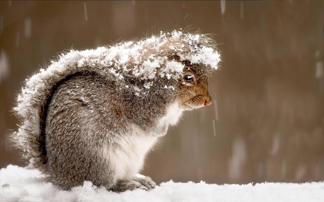 Snow squirrels wallpaper