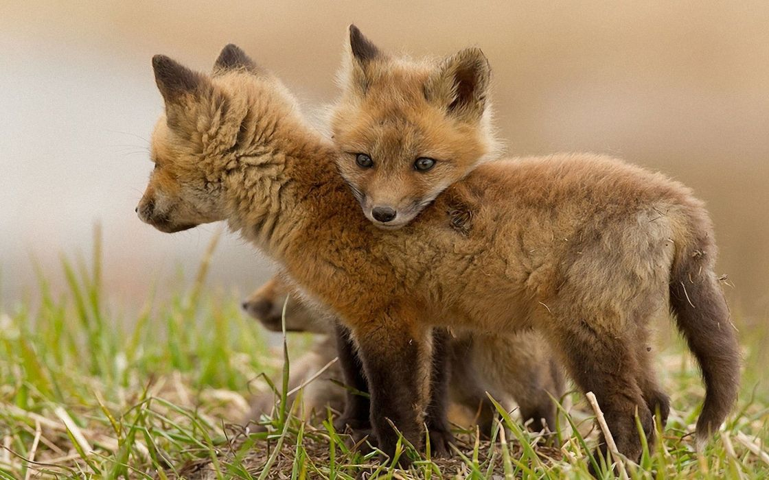 Nature animals wildlife foxes wallpaper