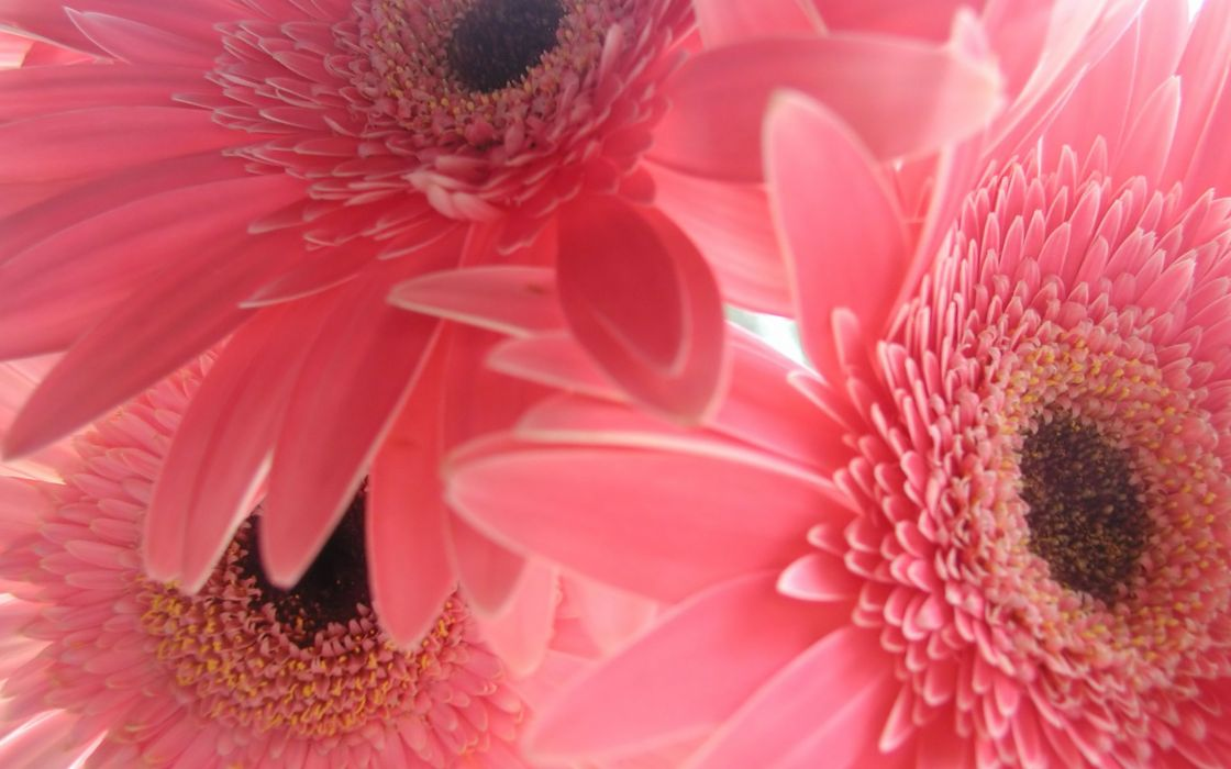 Flowers pink gerbera flower gerber daisy wallpaper