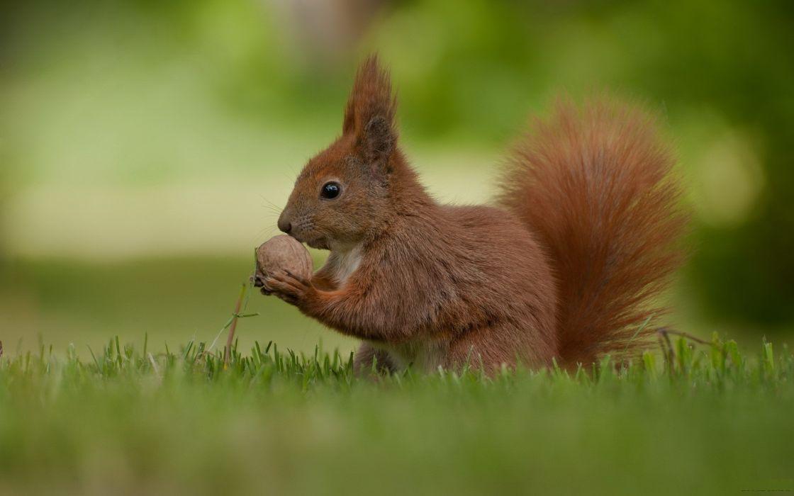 Animals grass squirrels depth of field wallpaper