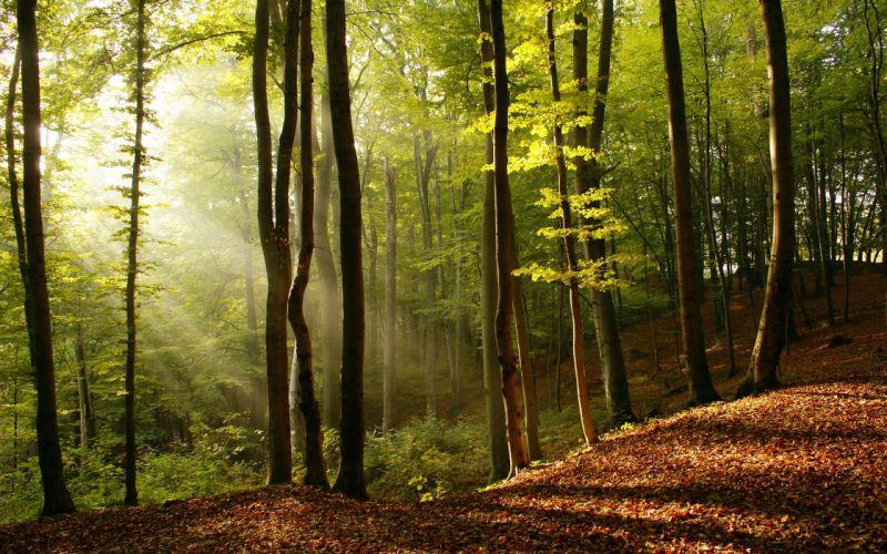 Nature trees forest sunlight wallpaper