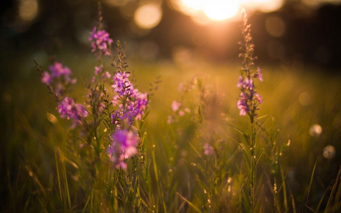 Landscapes nature flowers grass fields summer evenings wallpaper