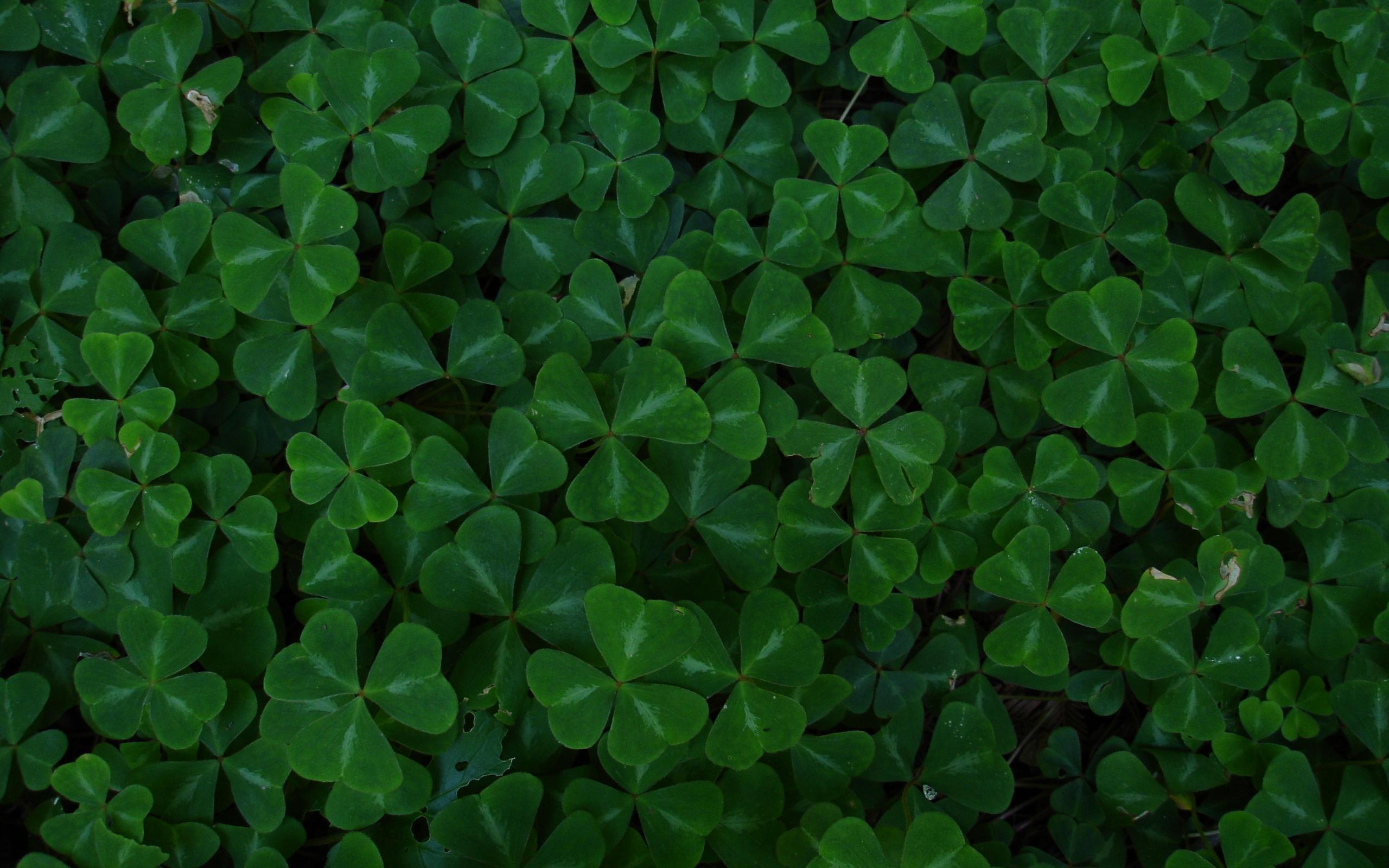 Green Leaf Clover Wallpaper 2560x1600 10549 Wallpaperup
