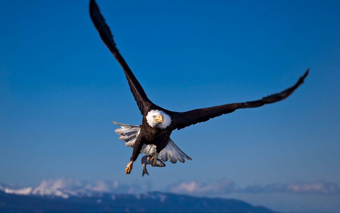 Birds wildlife fish eagles bald eagles wallpaper