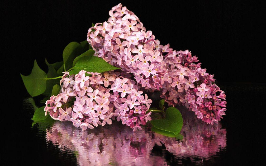 Nature flowers hydrangea hydrangeas wallpaper