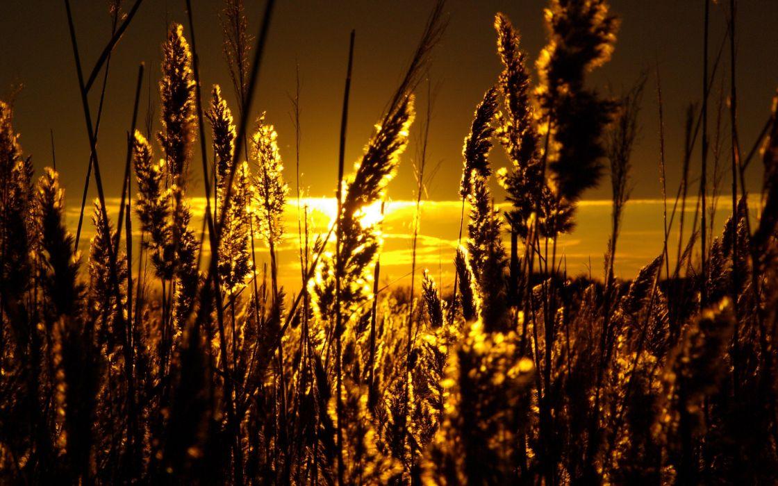 Sunset landscapes nature fields wheat wallpaper