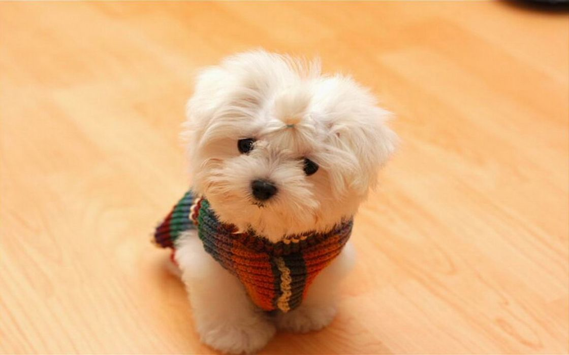 Animals dogs puppies maltese wallpaper