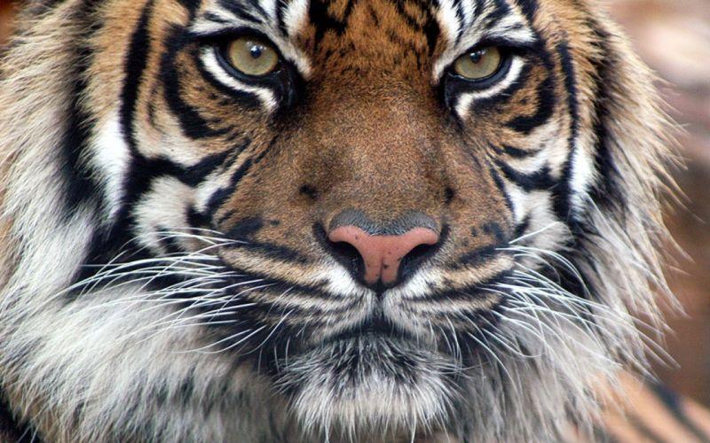 Cats animals tigers bengal tigers wallpaper