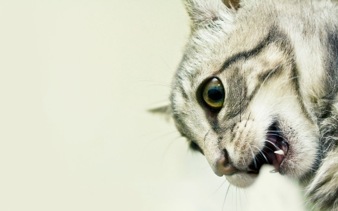 Cats animals mouth wallpaper