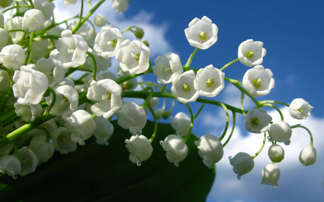 Nature flowers lily of the valley wallpaper