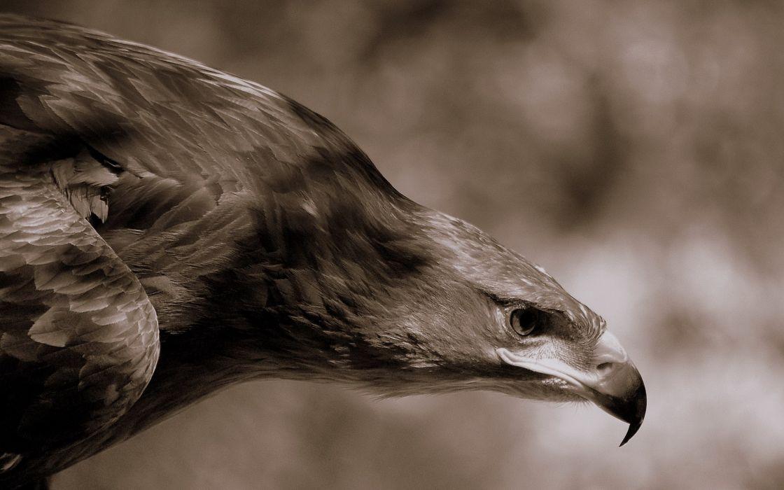 Birds animals eagles wallpaper