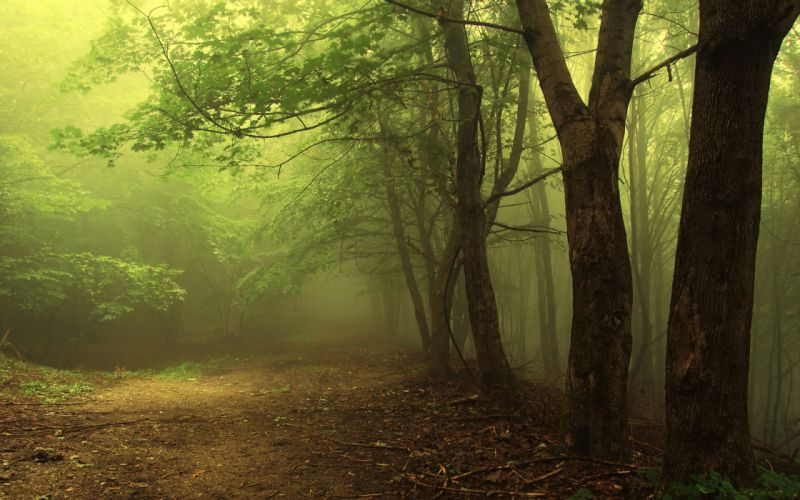 Trees forest wallpaper