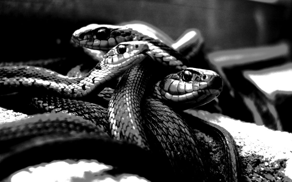 Snakes grayscale monochrome wallpaper