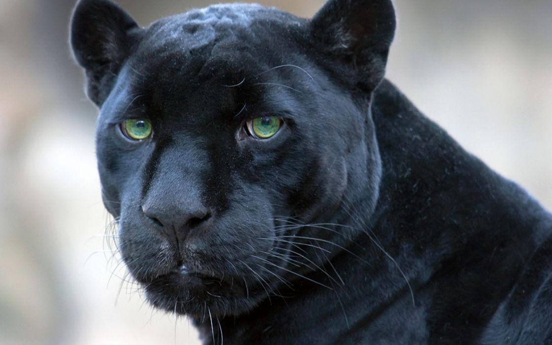Animals panthers black panther wallpaper