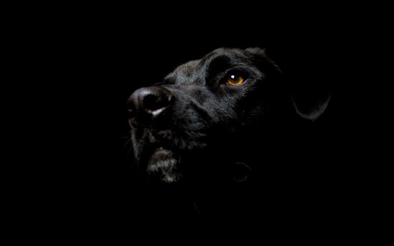 Black dogs labrador retriever black background wallpaper