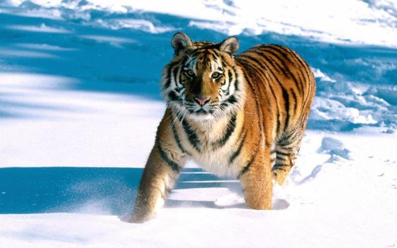 Snow animals tigers feline wallpaper