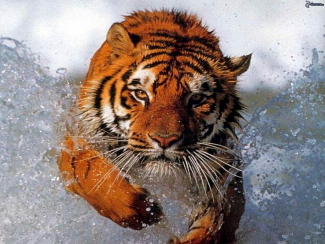 Water animals tigers diving photomanipulations wallpaper