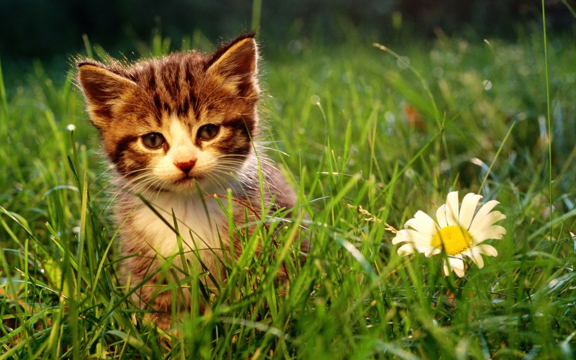 Nature flowers cats animals grass kittens wallpaper