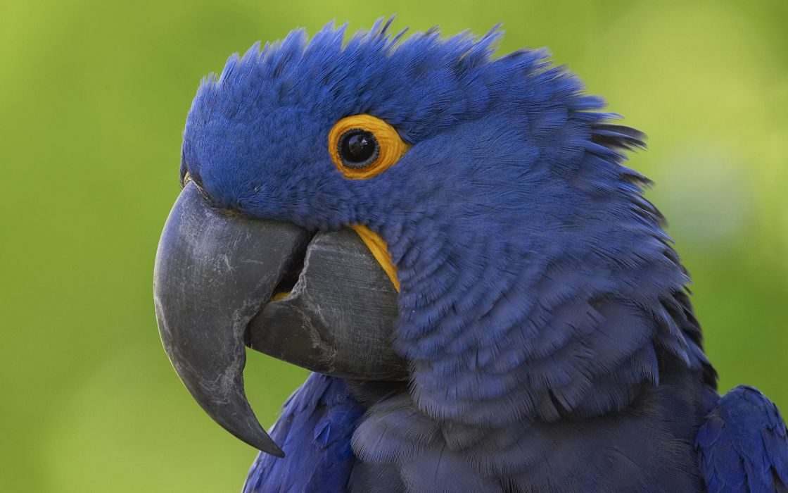 Birds parrots macaw hyacinth macaw wallpaper
