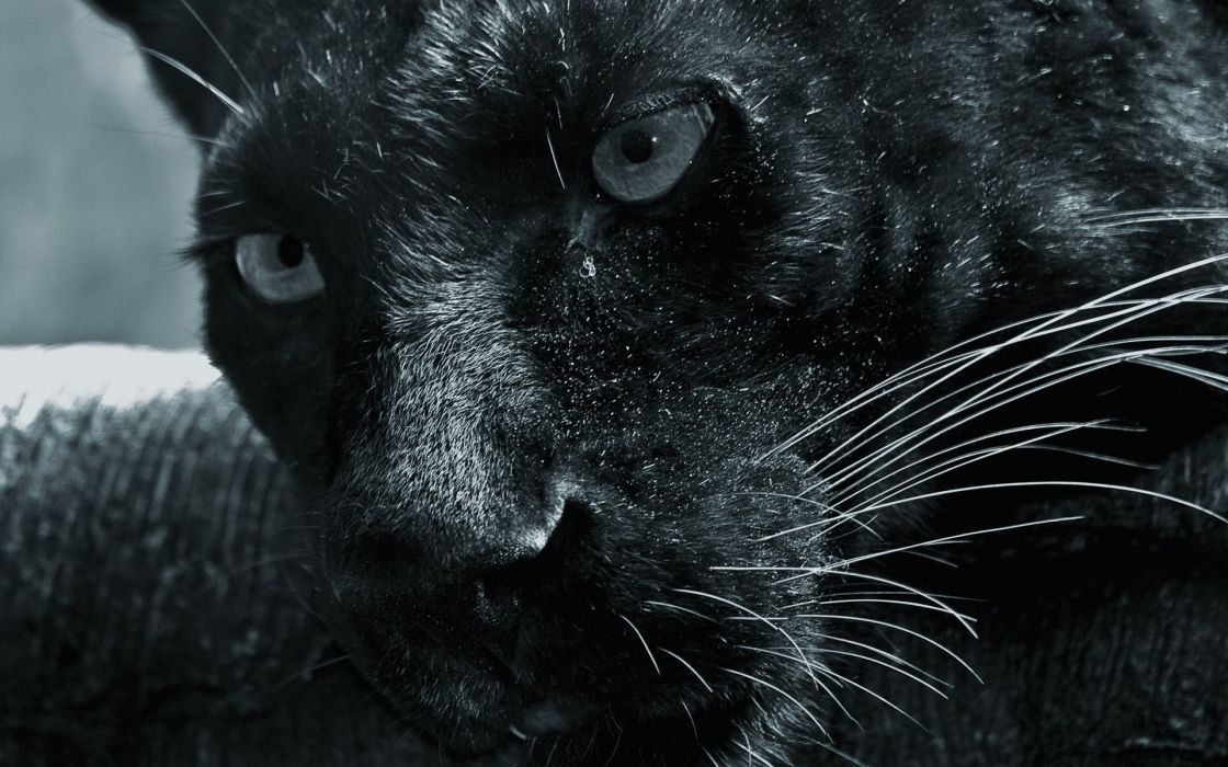 Close-up animals panthers black panther wallpaper